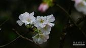 二○二○陽明山櫻花季:2.jpg