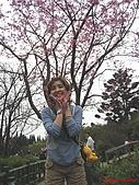 98.02.15 陽明山花季:哇~美麗的....櫻花~