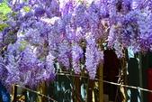 紫色炫影~紫藤: