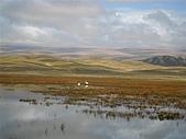 北疆遊--中國新疆〈天山以北〉:天鵝湖--人多鵝散,踩過很多牛羊米田共才拍到.JPG