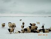 北疆遊--中國新疆〈天山以北〉:巴音-天鵝湖畔羊群.jpg