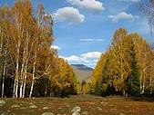 北疆遊--中國新疆〈天山以北〉:金秋禾木-白樺樹1.JPG
