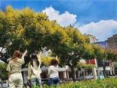 10908-11001 新聞:1091001-3 秋意濃!台中街頭「四色樹」台灣欒樹綻放1.jpg