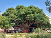 10908-11001 新聞:1091001-4 台中之寶1029歲茄苳王公樹 「契子」來祝壽1.jpg
