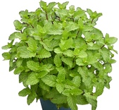 香草姐的快樂花園(現在式):五吋綠薄荷f.JPG