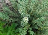 香草姐的快樂花園(現在式):跟它很類似的馬郁蘭也在開花
