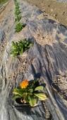 香草姐的快樂花園(現在式):霧峰青農這裡的金盞花也開花了!