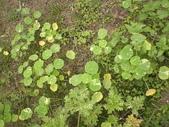 香草姐的快樂花園(過去式):今年花園裡到處是金蓮花小寶寶。