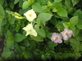 香草姐的快樂花園(現在式):活力菜也在開花
