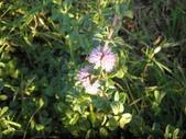 香草姐的快樂花園(現在式):至於當地被的普列薄荷