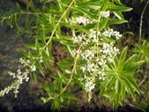 香草姐的快樂花園(現在式):這一季生長最穩定的要算是檸檬馬鞭草了。