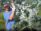 香草姐的快樂花園(現在式):長得太旺盛的藍桉