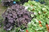 香草姐的快樂花園(現在式):不過,地植的紫蘇一直在開花