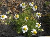 香草姐的快樂花園(現在式):這株開花的德國甘菊則讓我好羨慕