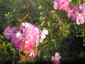 香草姐的快樂花園(現在式):超級會開花的天使薔薇