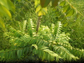 香草姐的快樂花園(現在式):綠咖哩的樹型真的超酷