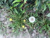 香草姐的快樂花園(現在式):老朋友蒲公英是我愛的香草之一