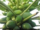 香草姐的快樂花園(現在式):結實累累的木瓜也是鄰居借種的