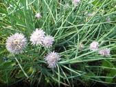 香草姐的快樂花園(現在式):株細香蔥是冬季再種的