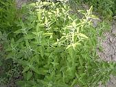 香草姐的快樂花園(過去式):2010052102.jpg