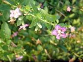 香草姐的快樂花園(現在式):枸杞枝頭又見粉紅花朵