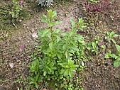 香草姐的快樂花園(過去式):2011011804.JPG