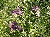 香草姐的快樂花園(過去式):2011032904.jpg