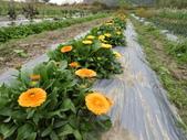 香草姐的快樂花園(現在式):今年的金盞花長得不錯