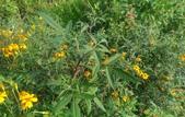 香草姐的快樂花園(現在式):芳香萬壽局及鳳梨鼠尾草的花期將告一段落