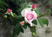 香草姐的快樂花園(現在式):南屯花園,驚喜看到幾株玫瑰枝頭