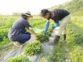 香草姐的快樂花園(現在式):不過,金盞花得人工一朵朵採