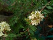 香草姐的快樂花園(現在式):隔壁這株指甲花也開始冒花苞了,