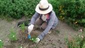 香草姐的快樂花園(現在式):初夏再地植一些玫瑰。