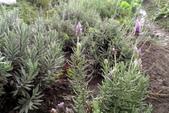 香草姐的快樂花園(現在式):我也是薰衣草迷
