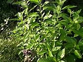 香草姐的快樂花園(過去式):白鶴靈芝