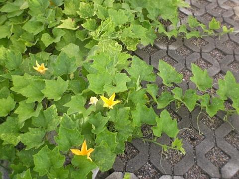 香草姐的快樂花園(過去式):南瓜