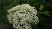 香草姐的快樂花園(現在式):接骨木也開出大大一團白花。