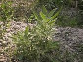 香草姐的快樂花園(過去式):陽光中,這株鼠尾草長得綠挺漂亮!