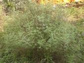 香草姐的快樂花園(過去式):這株芳香萬壽菊一直是花園裡長得最旺的香草。