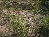 香草姐的快樂花園(過去式):甜菊一直在開花