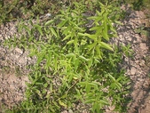 香草姐的快樂花園(過去式):檸檬馬鞭草長得很旺,決定先修剪。