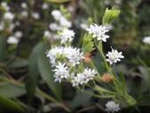 香草姐的快樂花園(現在式):甜菊也是一年生草本