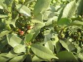 香草姐的快樂花園(現在式):天仙果也是老朋友