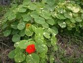 香草姐的快樂花園(過去式):金蓮花們開始出現花朵。