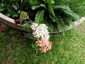 香草姐的快樂花園(現在式):這株蓍草也是很多人喜歡的花神