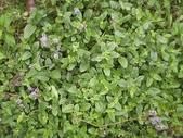 香草姐的快樂花園(過去式):前陣子一直在開花的仙草終於又變漂亮了