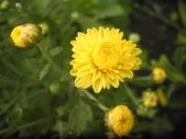 香草姐的快樂花園(現在式):秋冬也是菊科開花期