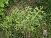 香草姐的快樂花園(過去式):照理說冬天的檸檬馬鞭草應該是長不好的。