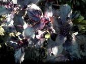 香草姐的快樂花園(現在式):紫羅勒有著比一般羅勒還豐富些的氣味