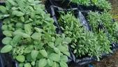 香草姐的快樂花園(現在式):霧峰園區的香草開始有些小蟲害